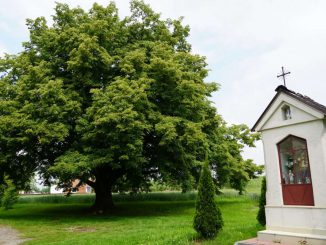 Lipa św. Jana Nepomucena piątym drzewem Europy