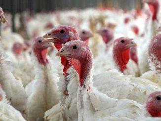 Gmina Przecław obszarem zagrożonym ptasią grypą